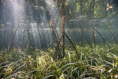 mangroves-and-seagrass-