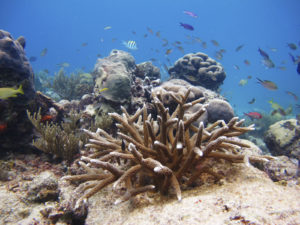 Outplanted staghorn (Acropora cervicornis) coral after one year of growth. In January 2010 the Conservancy's U.S. Virgin Islands Coral Restoration program installed its first in-water coral nurseries. Since then the team has successfully propagated over