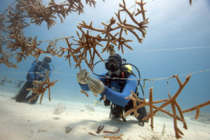 Ken Nedimyer and Stephanie Roach of Coral Restoration Foundation attach newly fragmented corals to a line nursery in their nursery east of Key Largo, Florida.