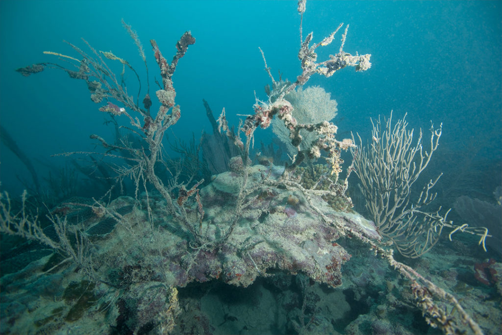 Sea fan and soft coral in varying stages of dying. This site is likely being affecting by both heavy sedimentation and agricultural nutrient runoff from a nearby river. Photo Credit: Jeff Yonover