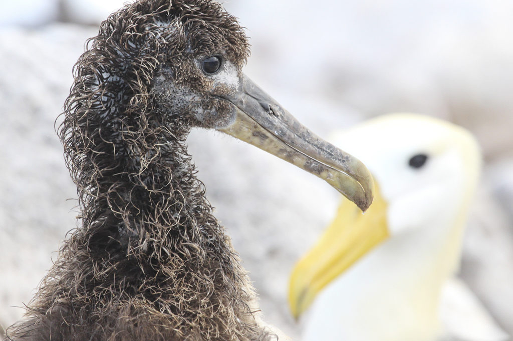 Waved albatross on Espanola Island, the sole breeding location for this critically endangered species in the Galapagos Islands. Photo Credit: Bradley Wilkenson