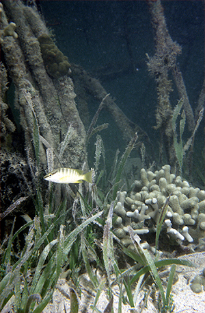 It is never quite as simple as in the textbooks. Here in Cuba, mangroves, seagrasses and corals grow in close proximity, forming an interconnected ecosystem. In this photo, a juvenile snapper shelters among them. Photo Credit: Mark Spalding