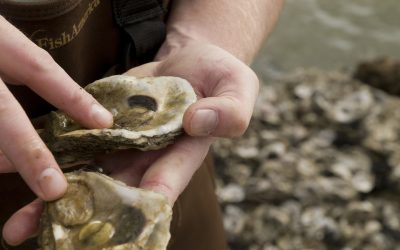 Oyster Reefs: How Much Is Enough?