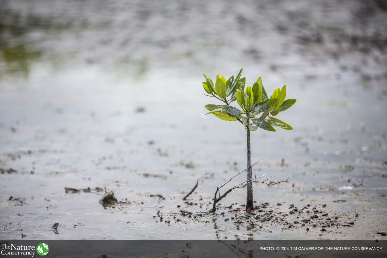 TNC Teams up with IUCN to Map Mangrove Restoration Potential