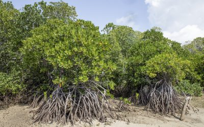 New study reveals that mangrove soils hold 6.4 billion tons of carbon globally