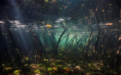 Discover the Carbon-capturing Power of Mangroves in your Country