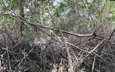 The World Gets a First Overview of Mangrove Health with Global Mangrove Watch